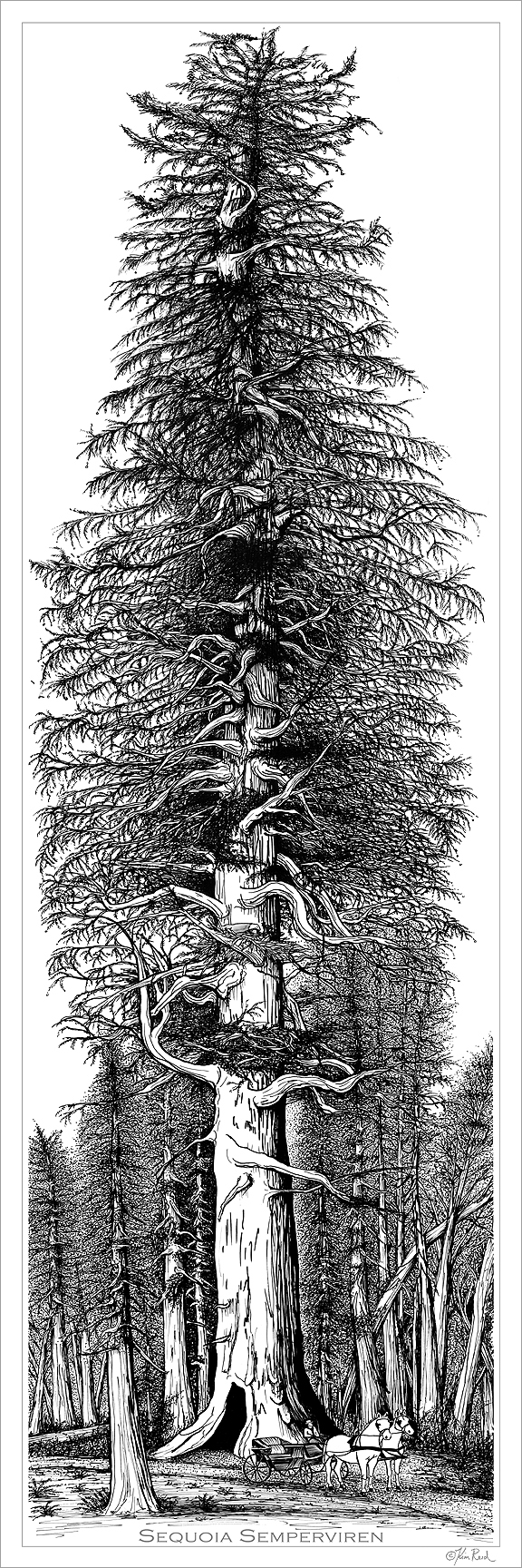 Kim Reid-Sequoia-Pen-and-Ink-LowRes_0.jpg