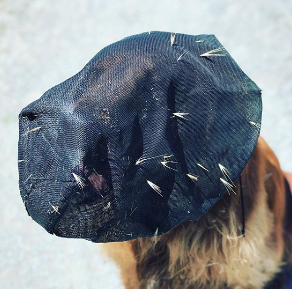 Metro Dog Foxtail