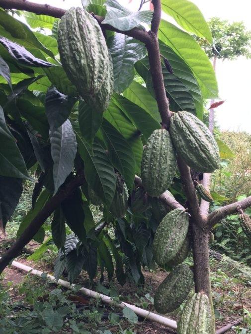 Cacao tree in Ometepe, Nicaragua