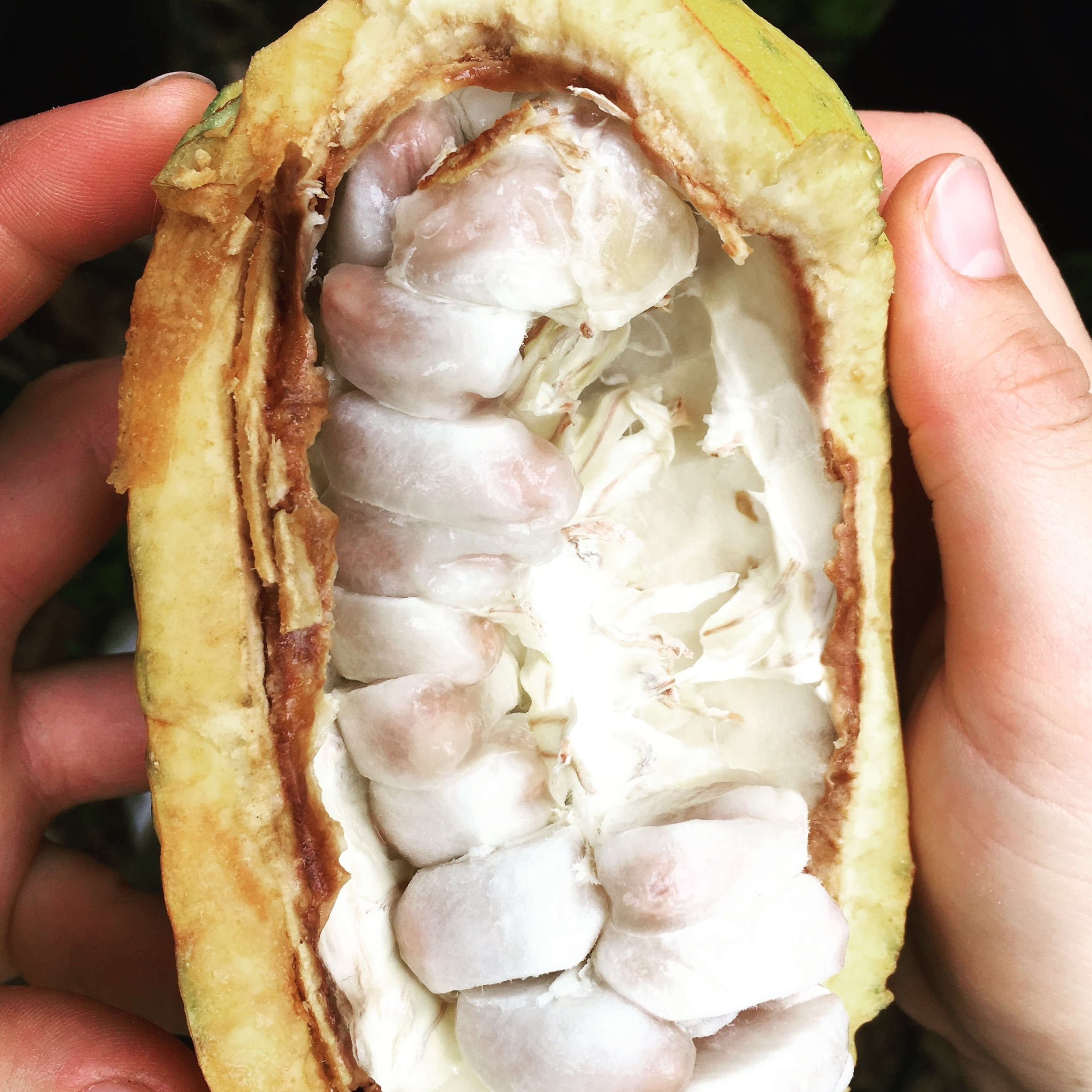 Freshly picked cacao fruit ( mazorca ), cacao beans covered by a sweet pulp.