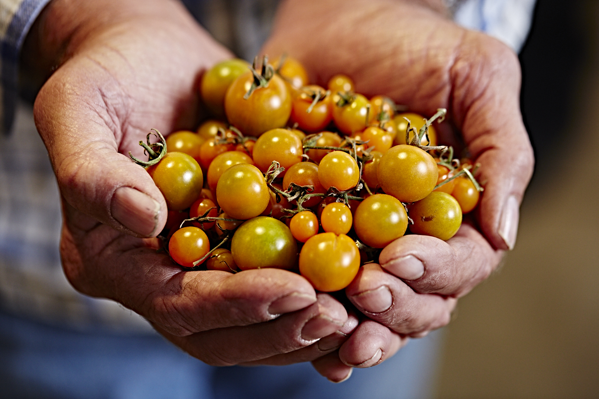 A picture of farmer's hands holding organic grape tomatoes.jpg