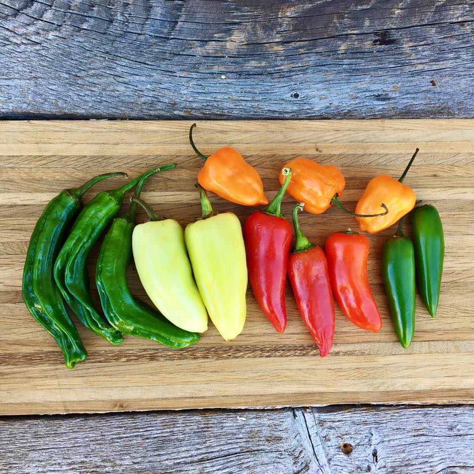 A plethora of fresh peppers in all of there colorful glory .jpg