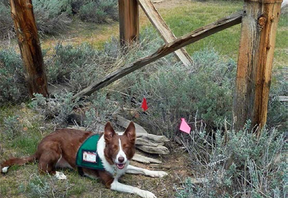 Rhea, part of the canine forensics team that surveyed Bodie's cem¬eteries in 2011 alerts at a grave site. The two colored flags mark the specific alert locations.