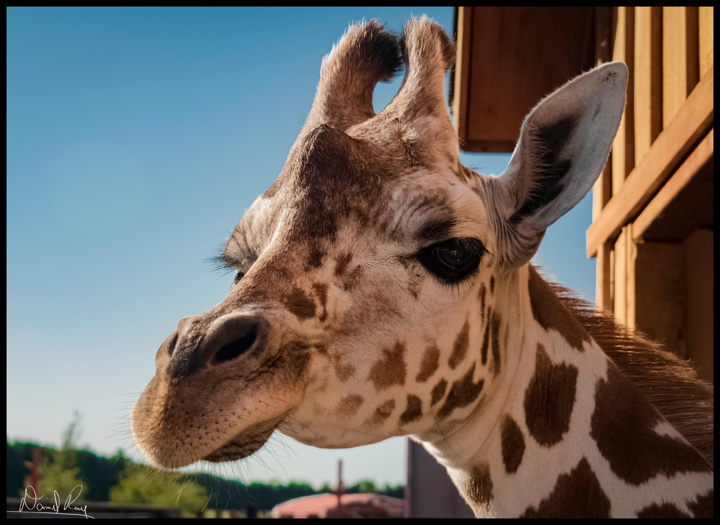 Patches the Giraffe at White Post Farms