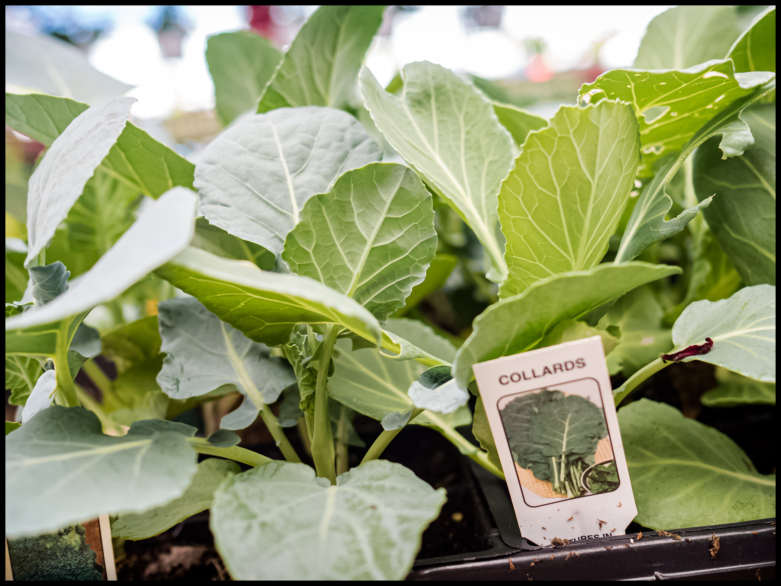 Collard Greens are a southern staple recipe, easy to make, healthy and tasty