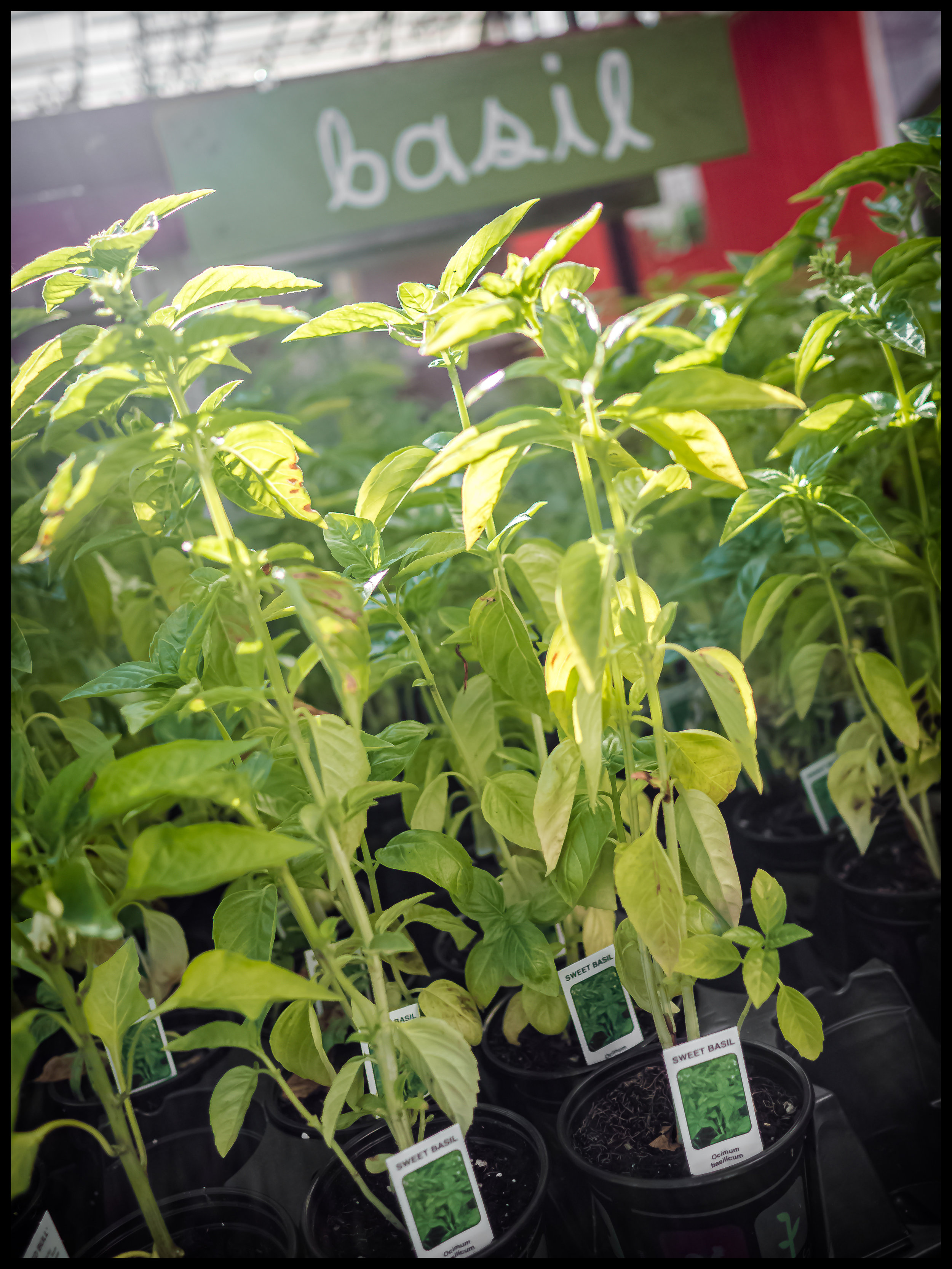 Basil being the heart of Italian food completes all sauces and can accent most dishes