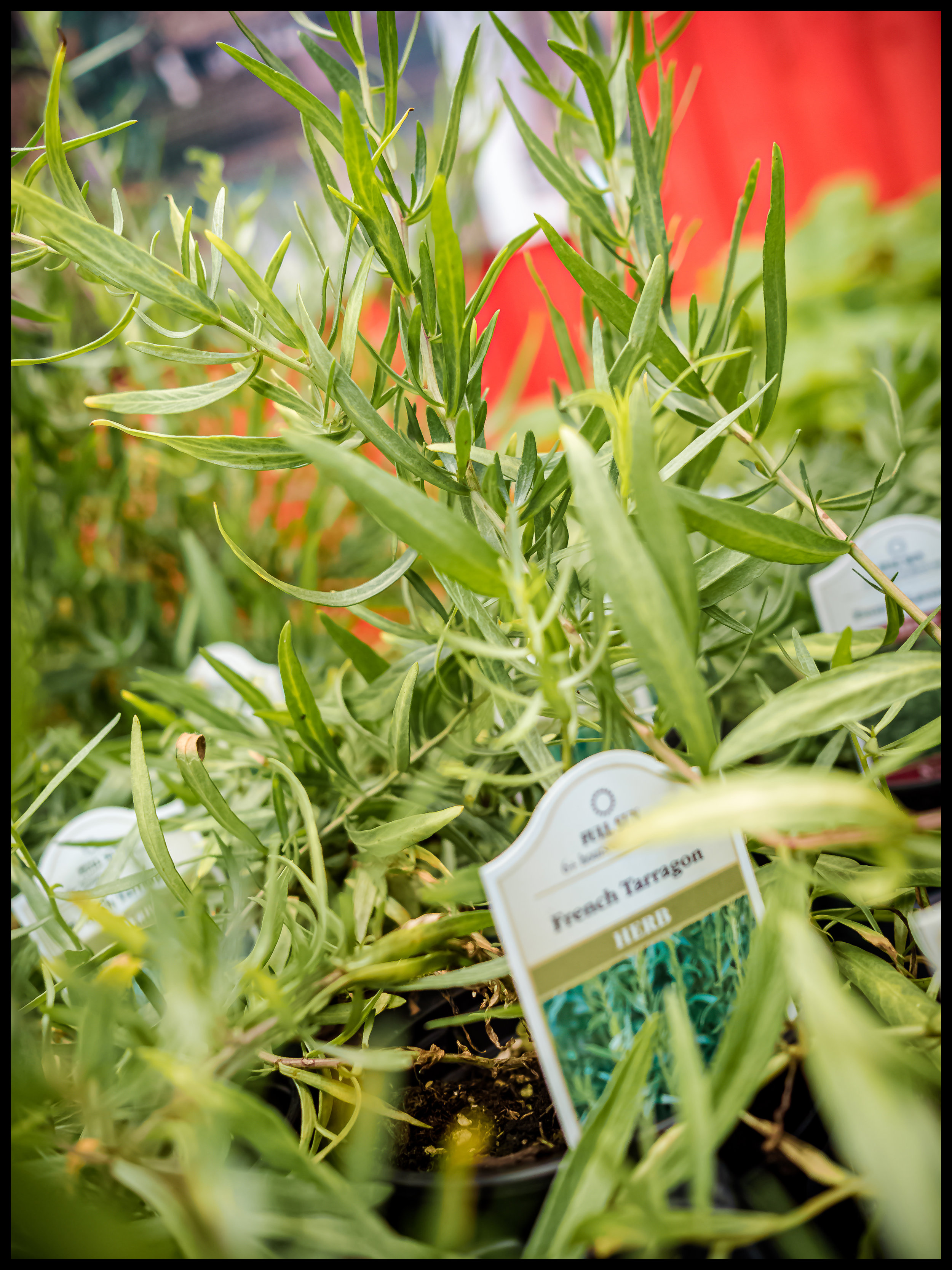 French Tarragon has a heavily aromatic taste and smell that enhances the flavor of most seafood recipes