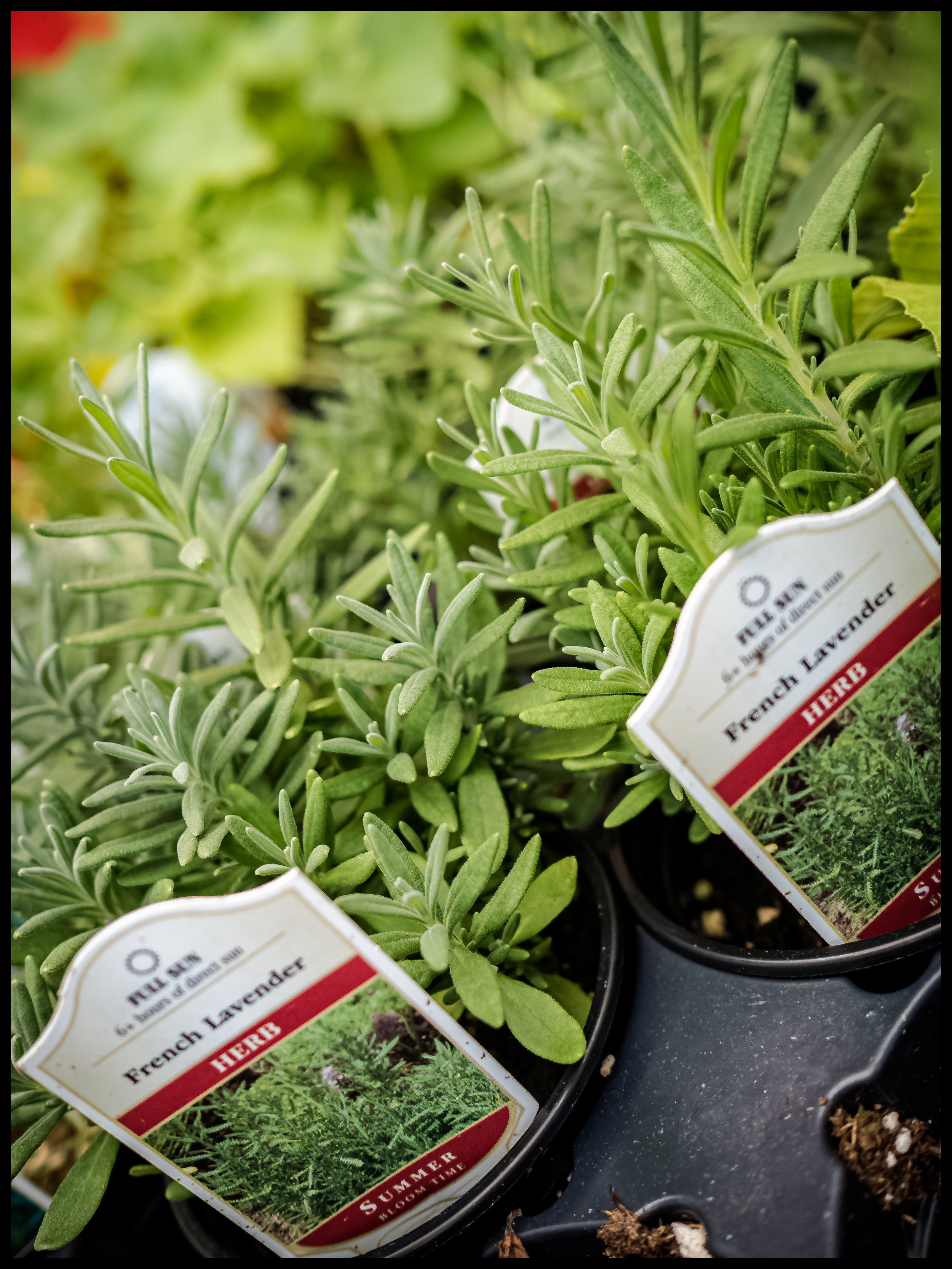 Similar to Rosemary, French Lavender has a wide range of uses in grilling and and sautés