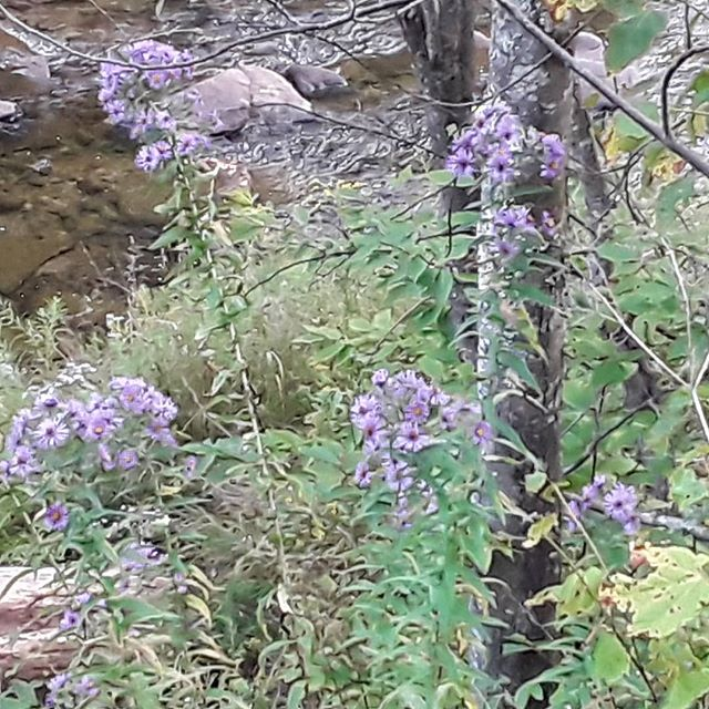 Purple asters by the river. #CrazyRiver #catskills #catskillsmountains