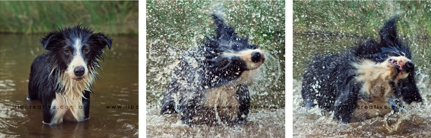 border-collie-wet-dog-shake.jpg