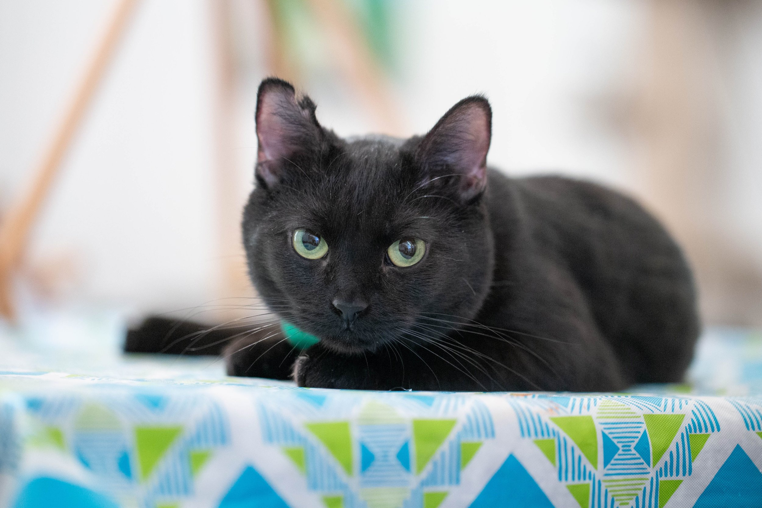"""Purrs & Palettes - Painting with cats! This is an all ages and artistic levels paint night event with guided instructions to paint a cat themed canvas in our cat lounge. """"Dry time"""" is spent mingling with the cats in the space.For class availability and sign up, click here."""