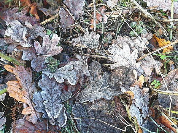 Frozen Oak