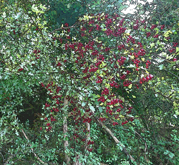 The Hawthorn.png