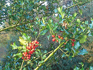 Holly Berries.png