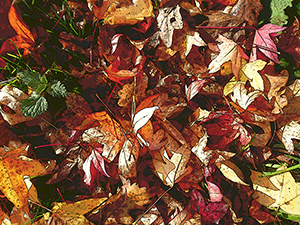 Fallen Leaves.png