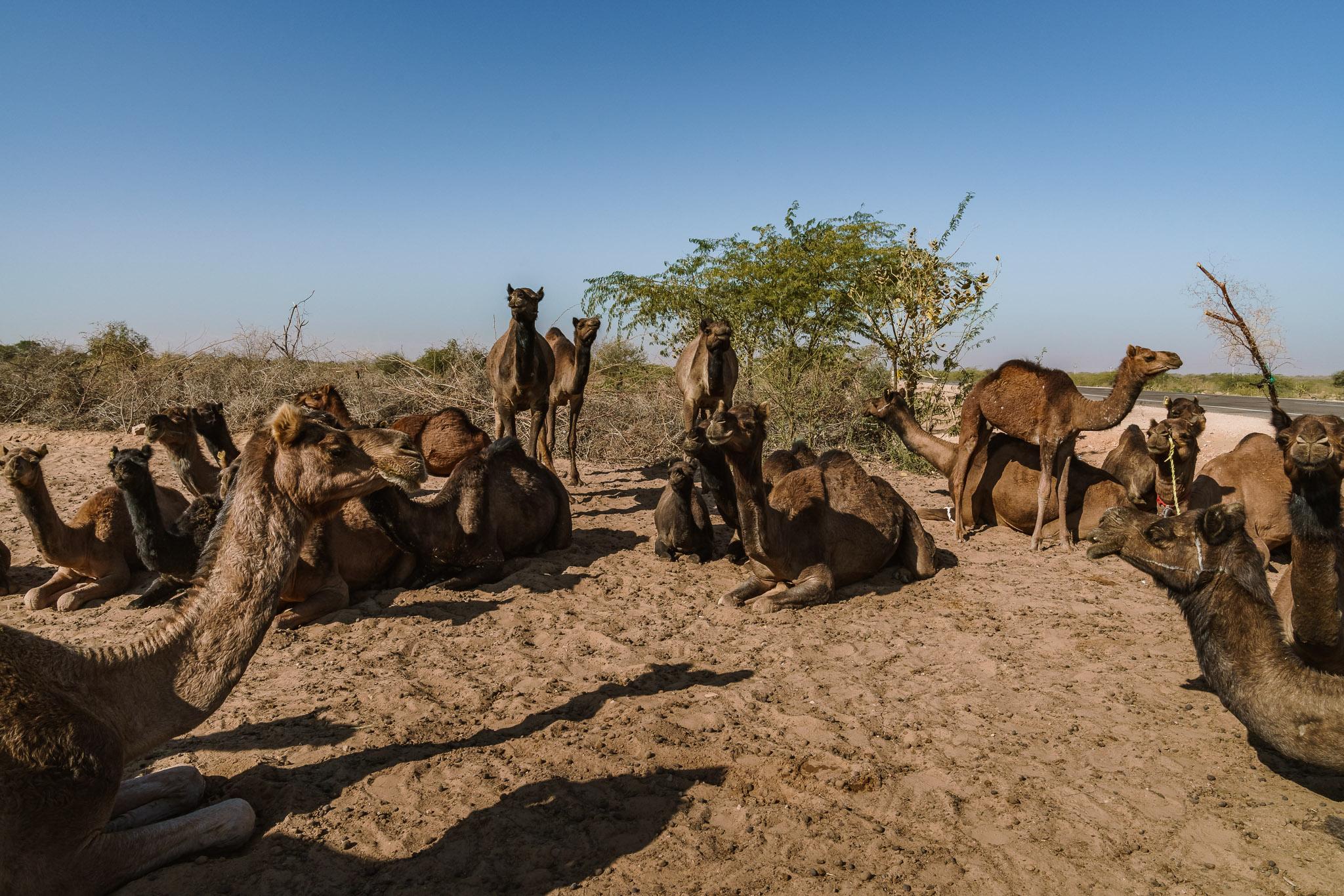India-pokhran-camel-farmer-4.jpg