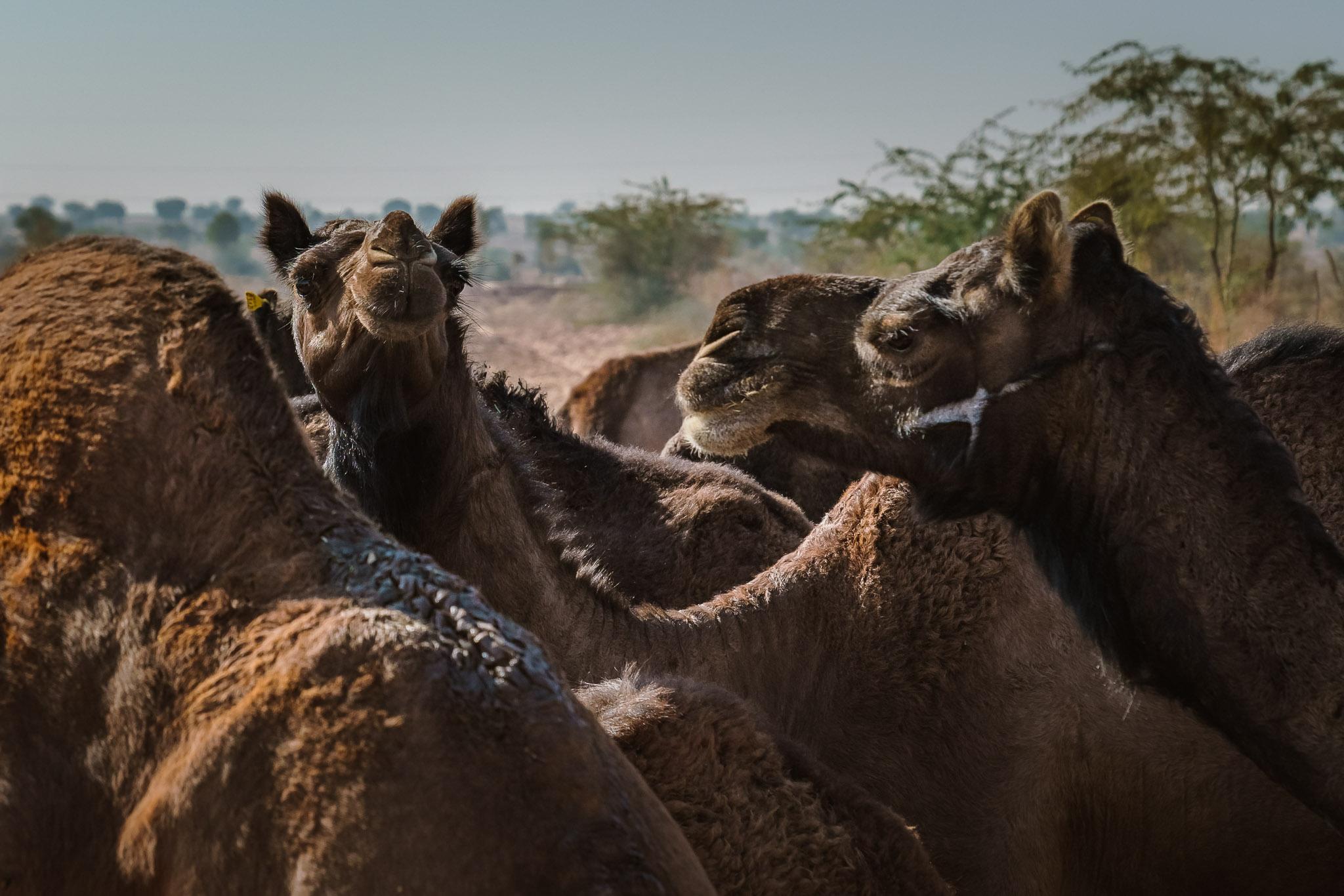 India-pokhran-camel-farmer.jpg