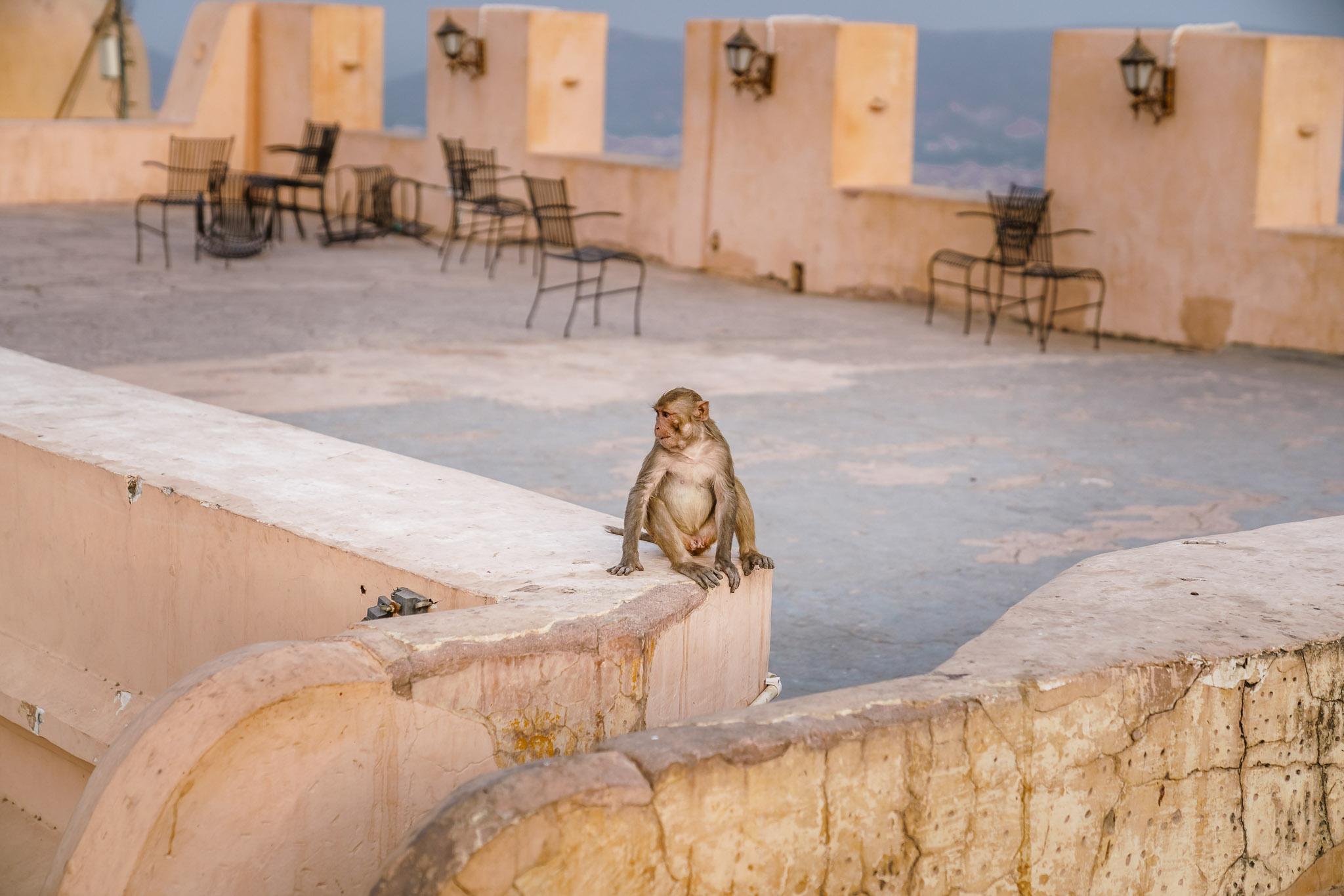 India-jaipur-monkey-3.jpg