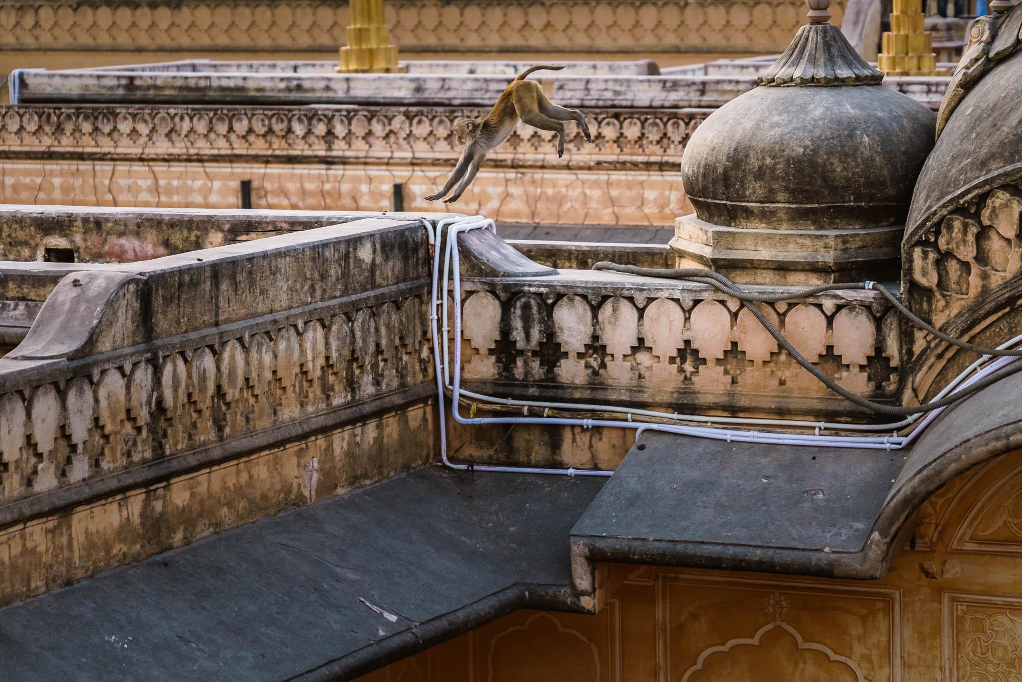 India-jaipur-monkey-4.jpg