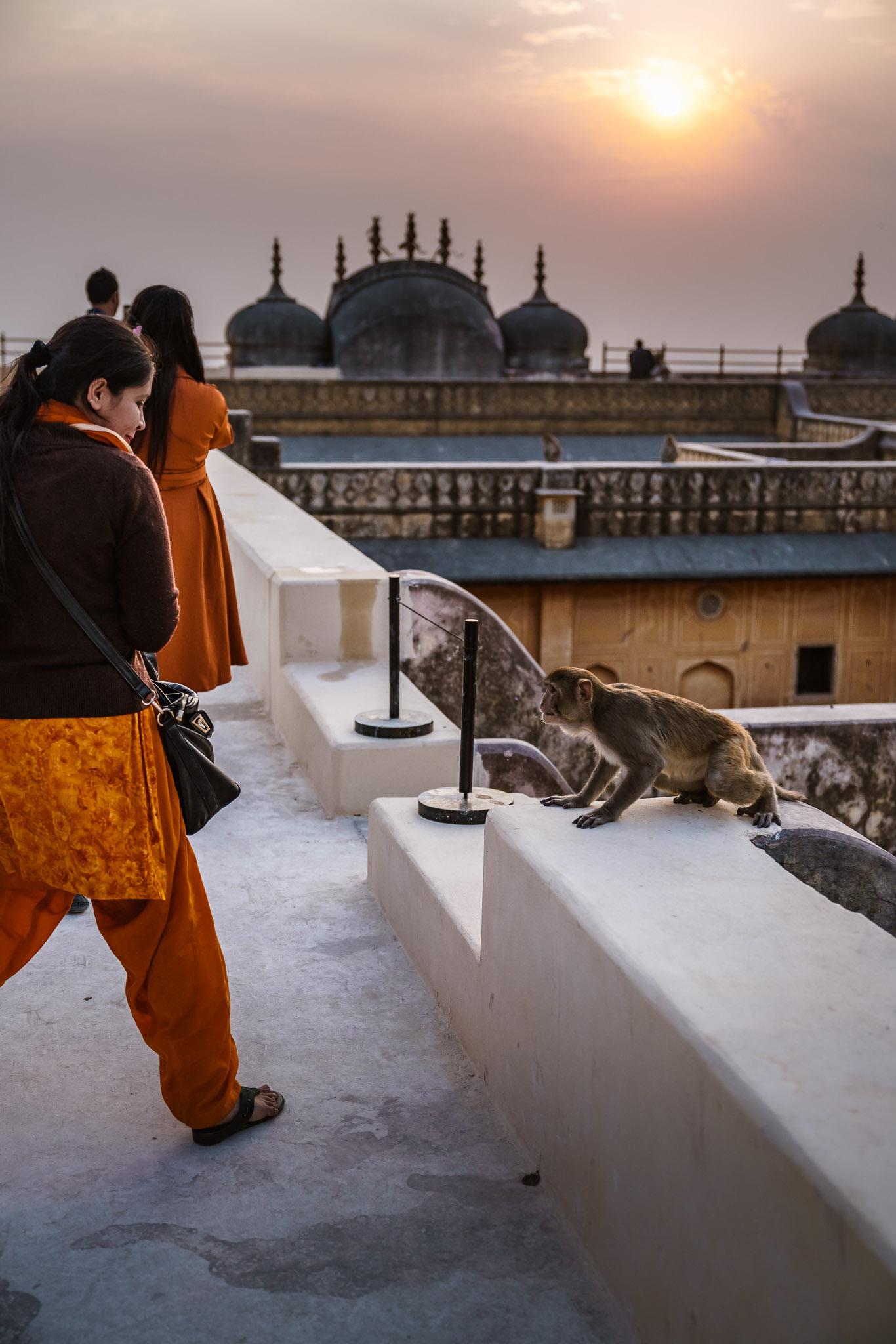 India-jaipur-monkey-5.jpg