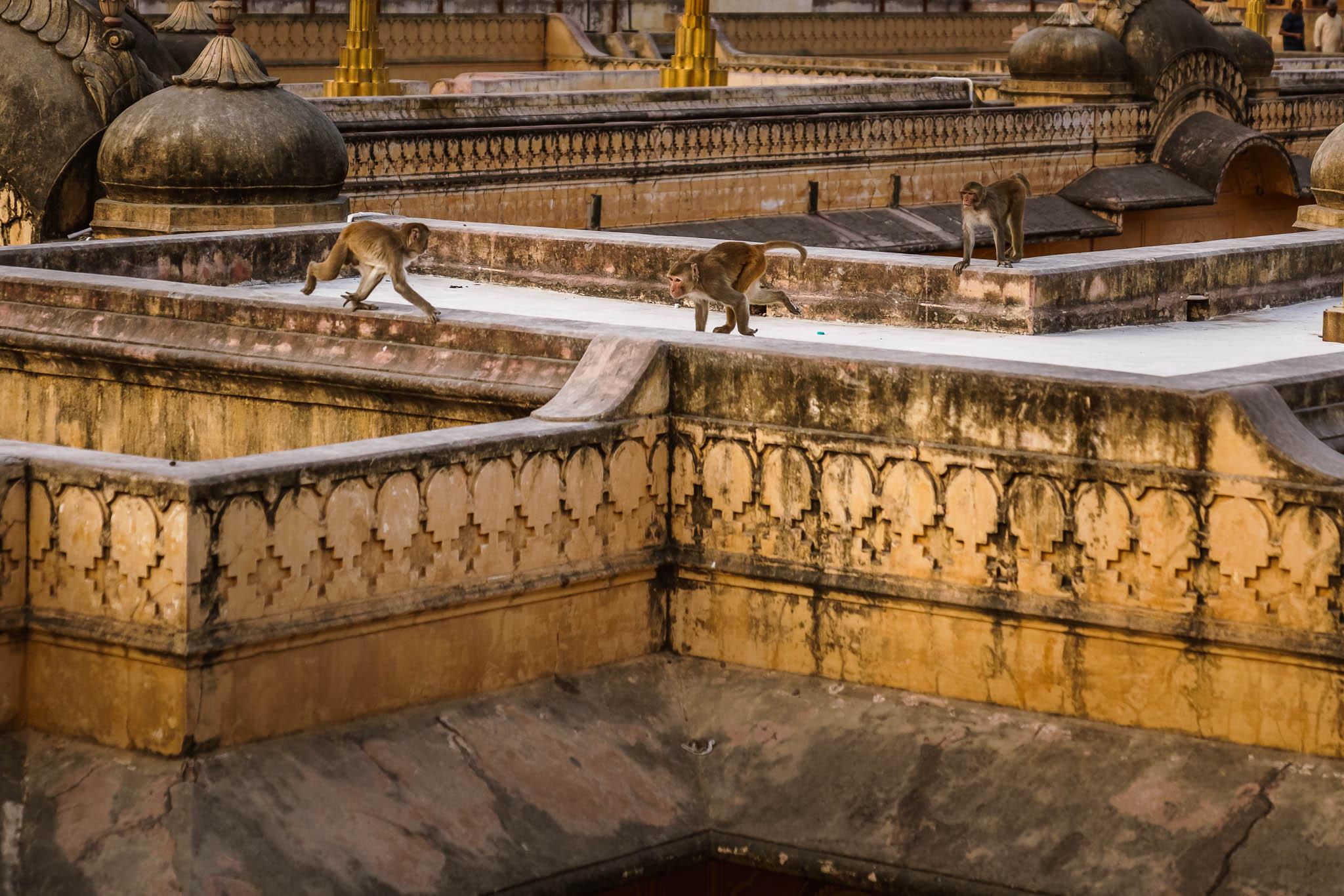 India-jaipur-monkey-6.jpg