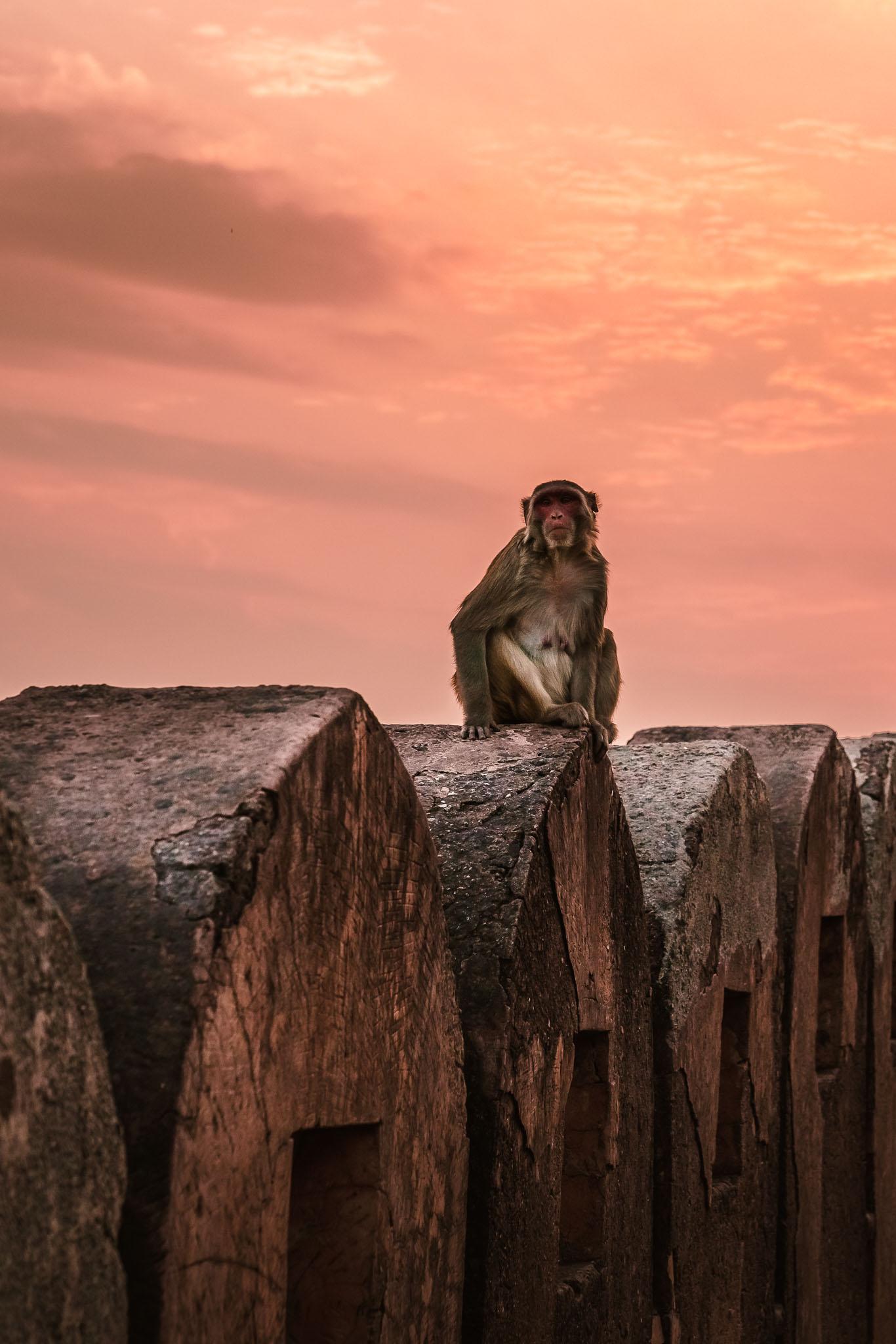 India-jaipur-monkey-11.jpg