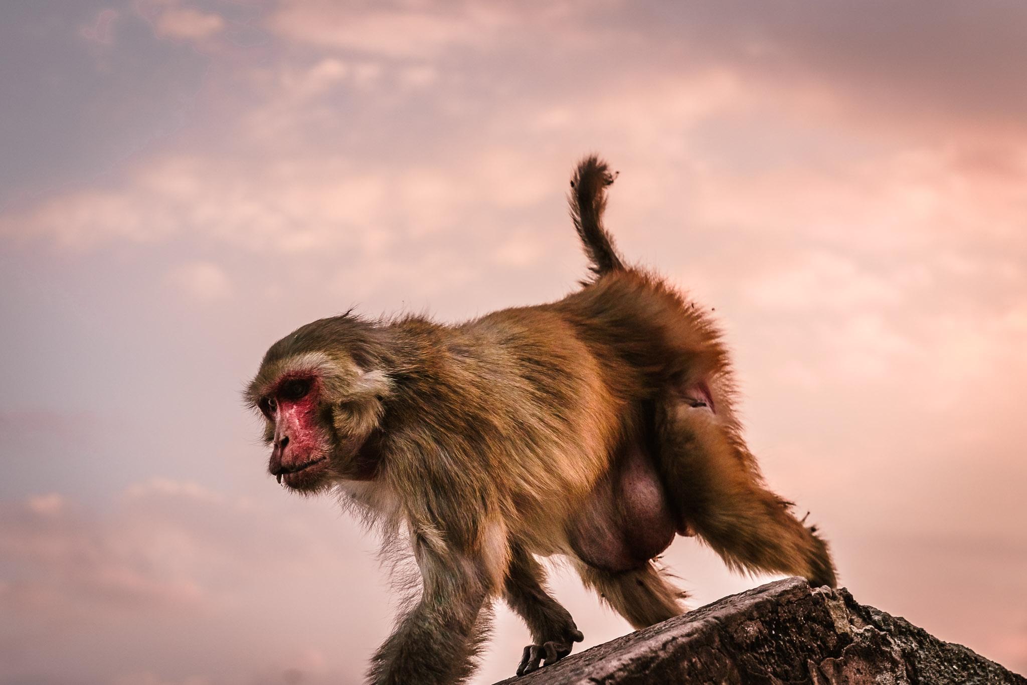 India-jaipur-monkey-13.jpg