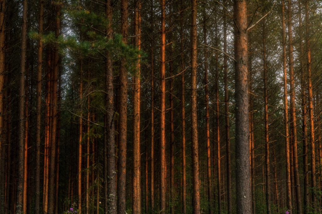 Finland-woodland-at-sunset-1024x683.jpg