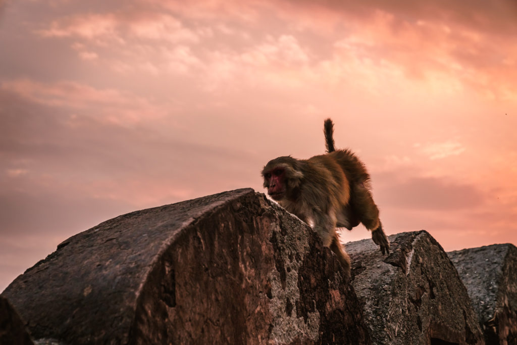 Nahargarh fort monkey, Jaipur