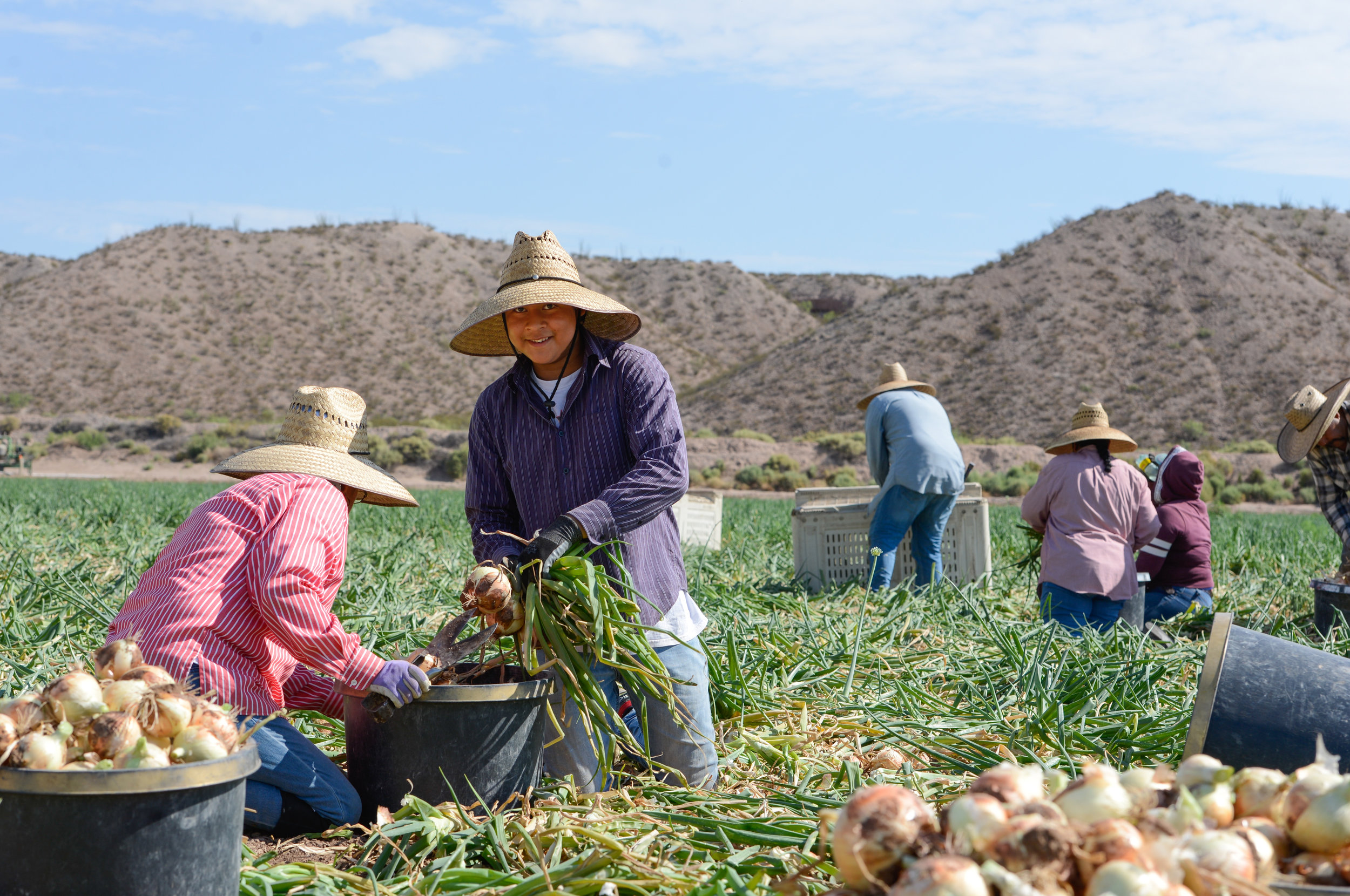 Onion harvest is best ever, growers say