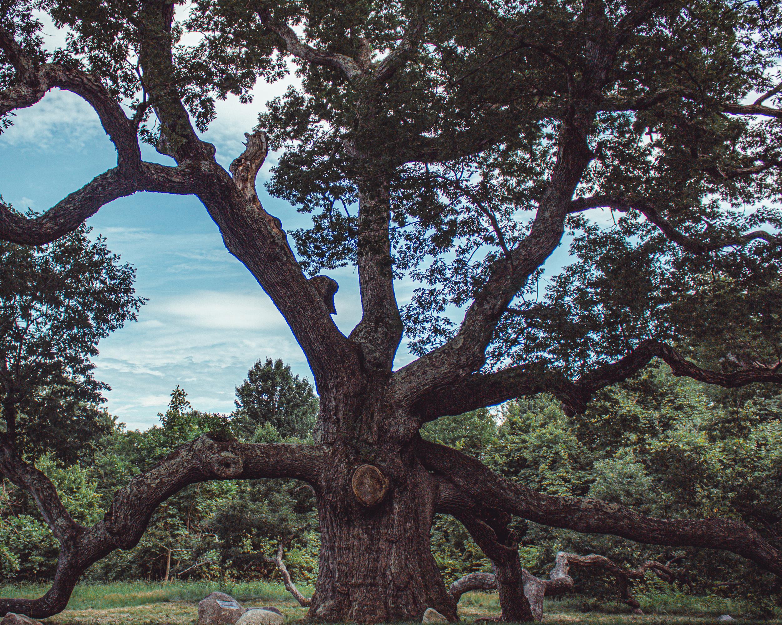The Granby Dewey Oak.jpg