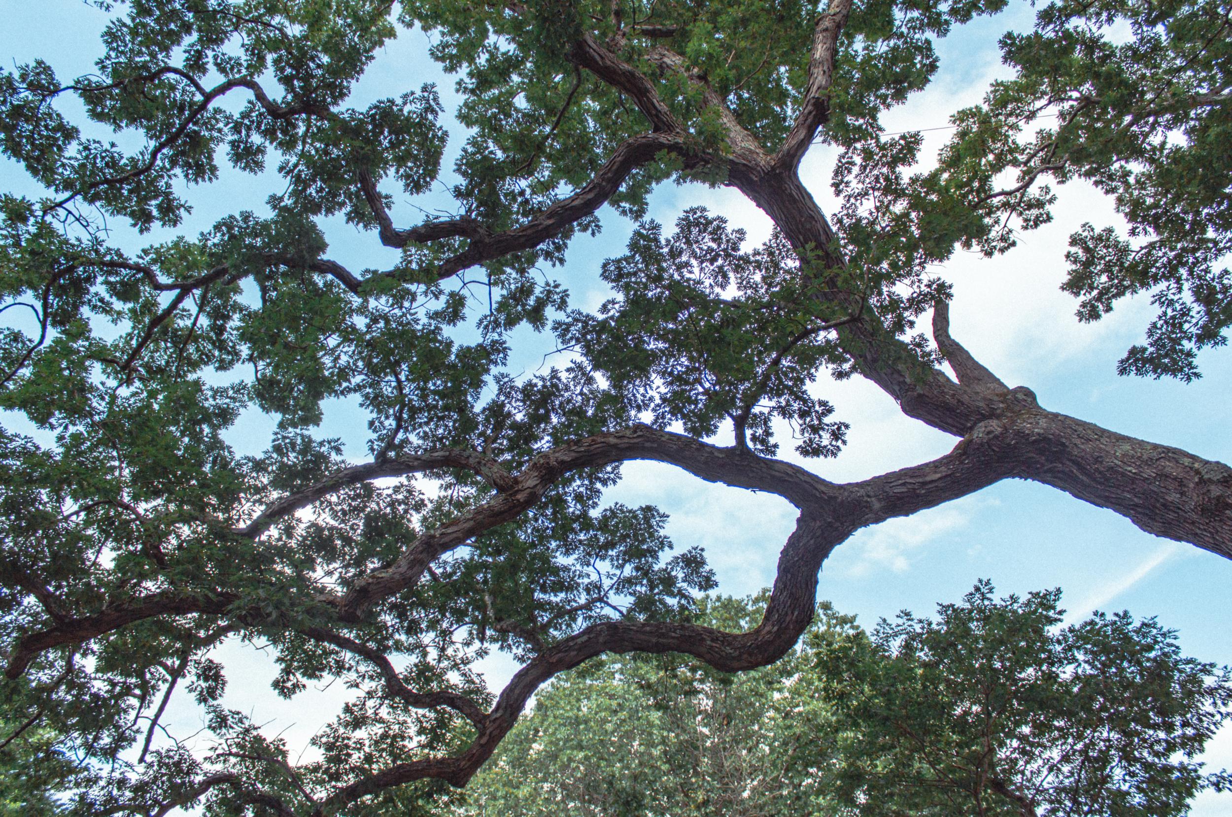 Dewey Oak in Granby.jpg