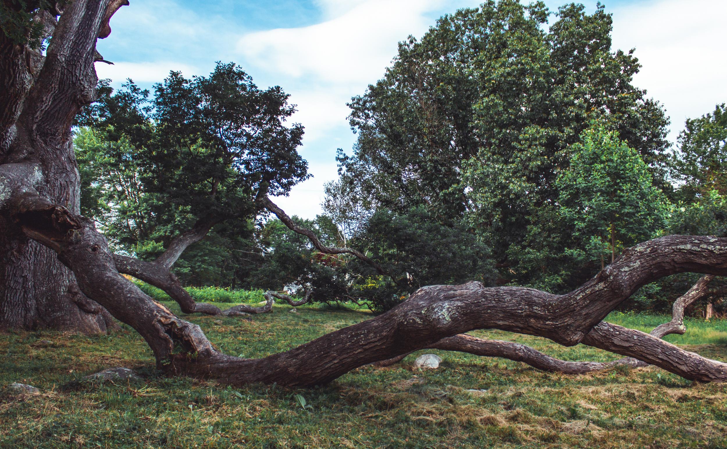 Ancient Oak of Granby.jpg