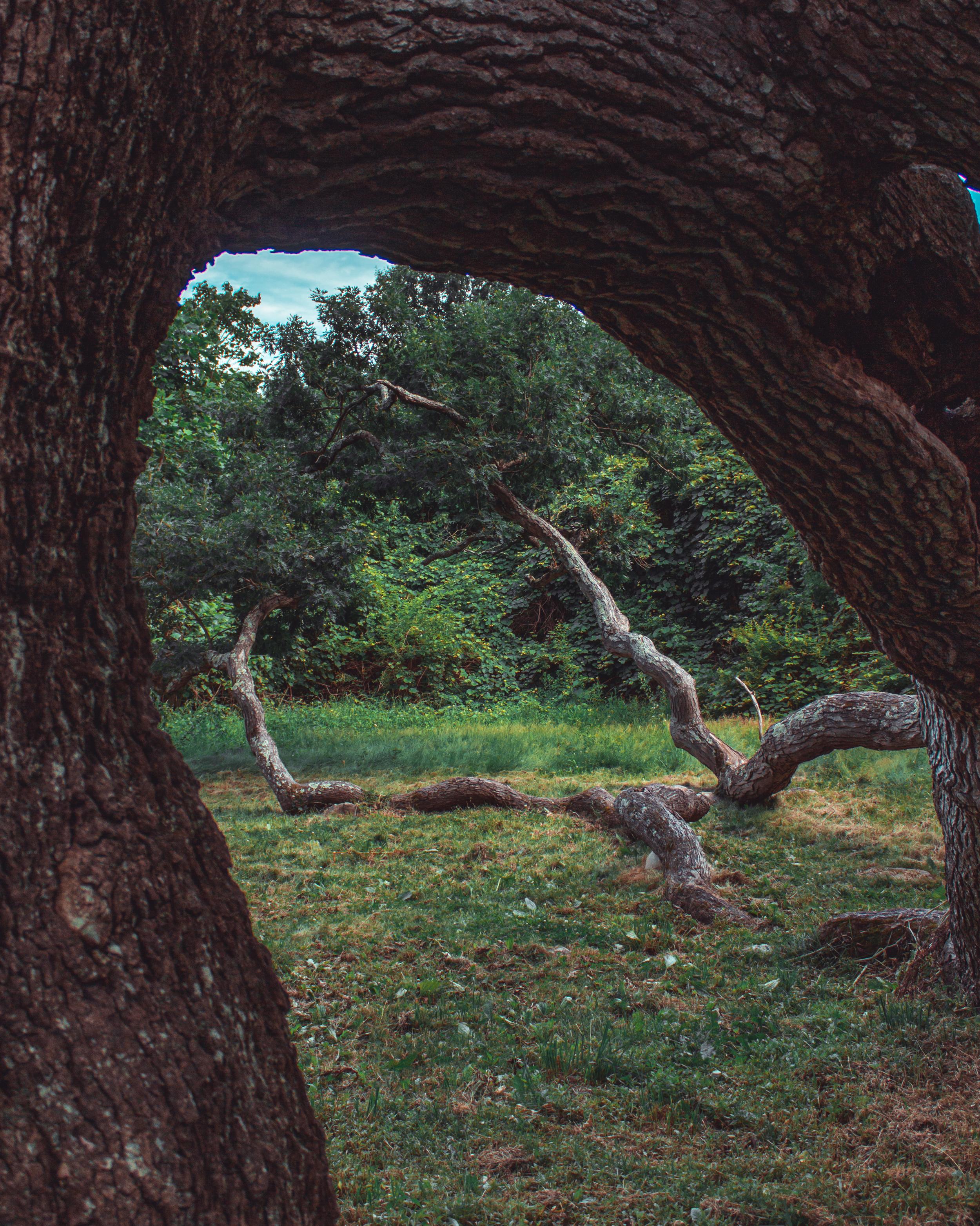 Dewey Oak in Granby 2.jpg