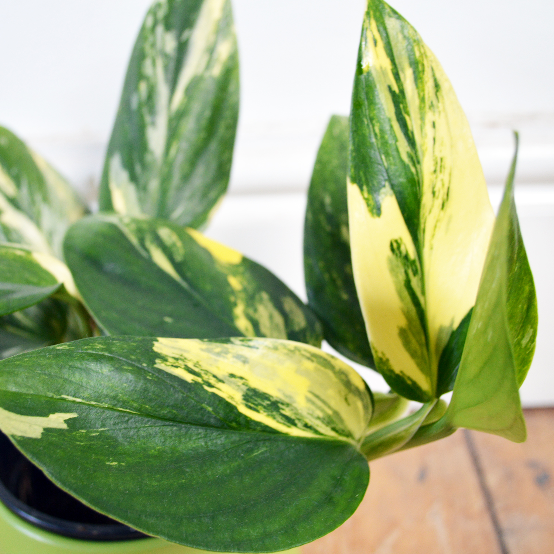 Philodendron Standleyana Variegata