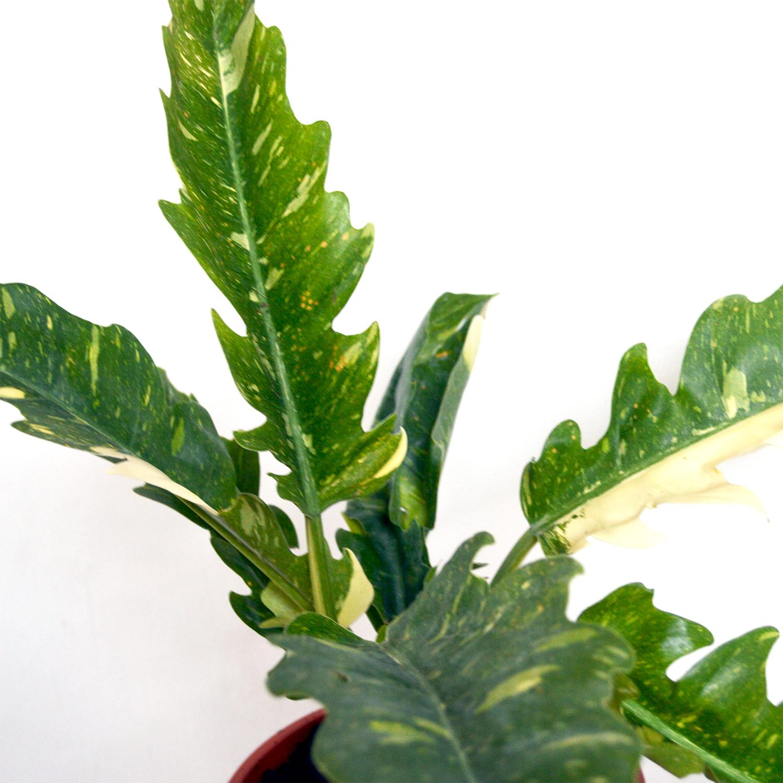 Philodendron Narrow Variegata