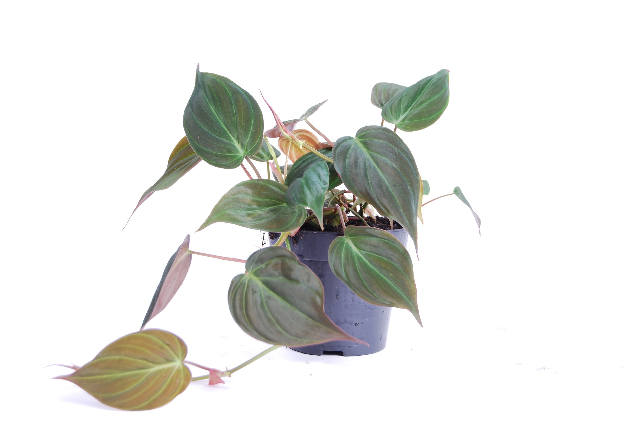 Philodendron Micans 20cm