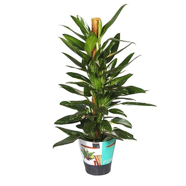 80cm Philodendron Cobra
