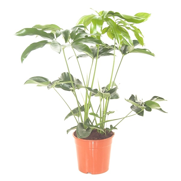 80cm Philodendron Green Wonder