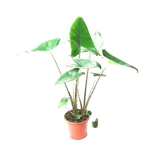 80cm Alocasia Zebrina