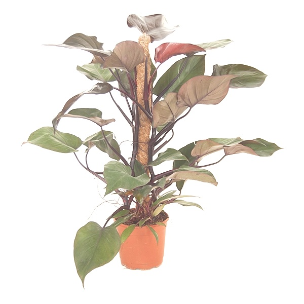 80cm Philodendron Royal Queen