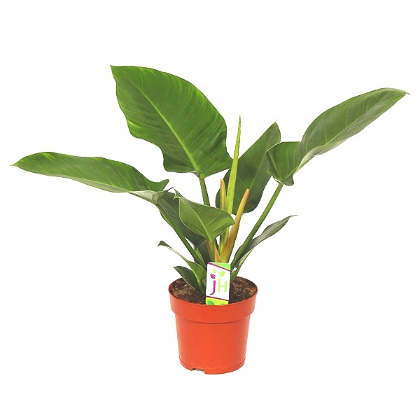 50cm Philodendron Imperial Green