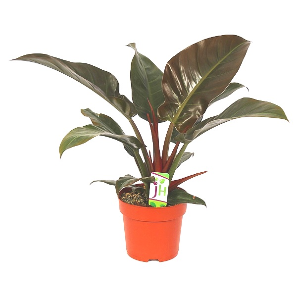 50cm Philodendron Imperial Red