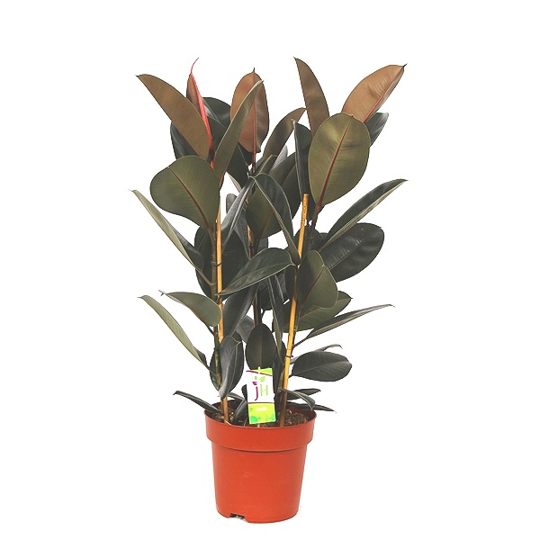 80cm Ficus Abidjan