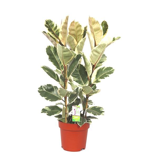 50cm Ficus Tineke