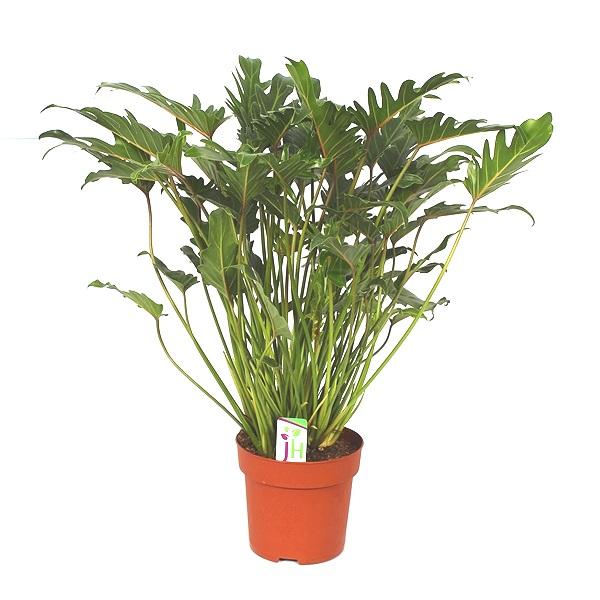 70cm Philodendron Xanadu