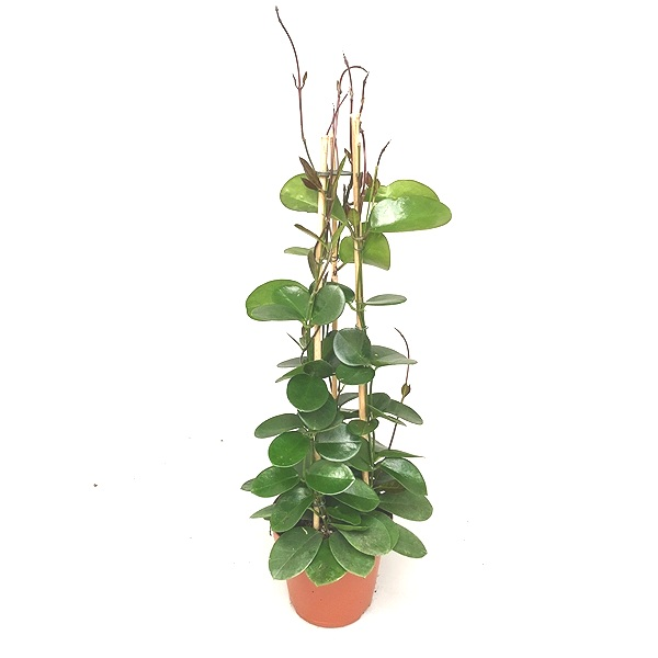 100cm Hoya Australis