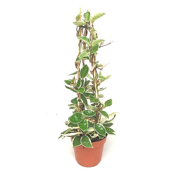 60cm Hoya Carnosa