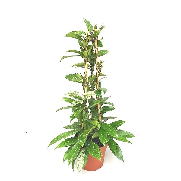 60cm Hoya Publicalix