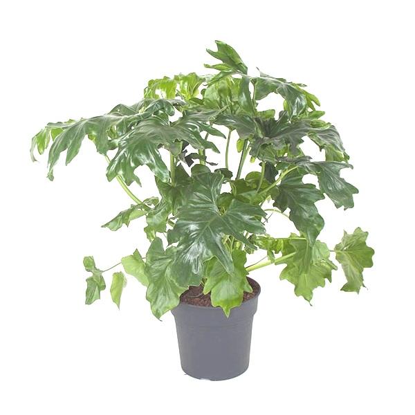 60cm Philodendron Selloum